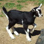 zack-1 (Goat Sales)
