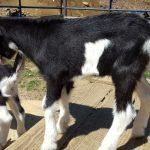 zack-2 (Goat Sales)