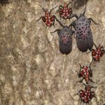 AR-180419937-646×433 (Destructive Spotted Lanternfly)