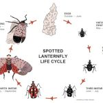 SLF_Lifecycle (Destructive Spotted Lanternfly)