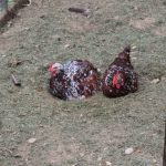 Big Bird+Henny-Penny (Meet Our Chickens: Part 2)