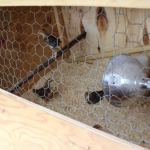 Chicks-Pic1 (Meet Our Chickens: Part 2)