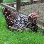 Lizzy3 (The Chicken Spotlight: Lizzy)
