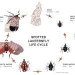 SLF_Lifecycle (Destructive Spotted Lanternfly)