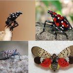 spotted-lanternfly-nymphs-adults (Destructive Spotted Lanternfly)