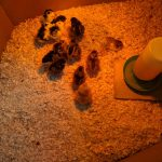 20200610_chick-delivery_800x600 (The Chicks are Here)